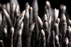 A variety of Dead Man's Fingers, Xylaria polymorpha....eeew