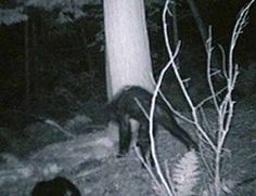 78 best bigfoot images on pinterest bigfoot sightings bigfoot