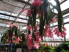 Really cool!  Orchid Cacti at Sickles Market