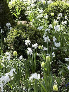 """Paperwhite Narcissus will grow happily and bloom with nothing more than water and stones or beach glass. To """"plant"""" your bulbs in any our our soilless kits, begin by carefully placing a layer of stones or glass to a depth of about 2 inches in a small vase or about 4 inches in a larger vase. Next place a layer of Paperwhite bulbs close to each other, roots facing down. Put a few stones or pieces of beach glass around and between the bulbs to anchor them in the vase. Leave the tops of the…"""