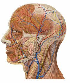 Glandă parotidă