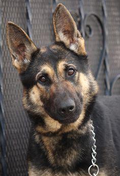 German Shepherd Puppies, German Shepherds, Schaefer, Freeze, Husky, Cute Animals, Dogs, Flowers, Black