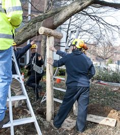 Traditional Japanese tree crutches being installed on Penn State heritage tree outside Deike Building