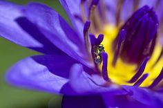 Into The Blue Photograph by Priya Ghose - Into The Blue Fine Art Prints and Posters for Sale #photography #pollinators #waterlily