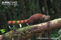 Malagasy ring-tailed mongoose on branch