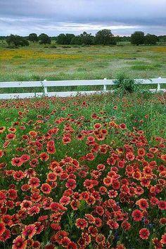 Flowering field