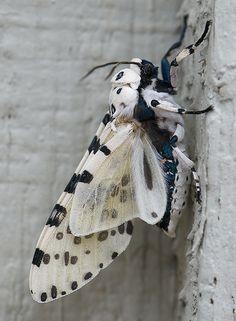 Giant leopard moth or Eyed tiger moth by nikkorsnapper, via Flickr