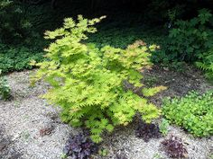 Acer shirasawanum 'Autumn Moon ' Full moon maple is a great alternative to Japanese maple in an area with light shade. Slow-growing and should be around 15' at maturity. Spring growth is very colorful and fall color is attractive too