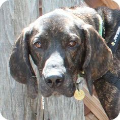 Walnut Creek, CA - Plott Hound. Meet Beryl a Dog for Adoption.