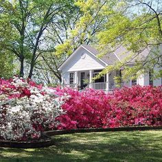 "When grouped into a hedge, blooming azaleas bring new meaning to the term ""spring spectacular."" After that, they still look attractive with glossy, dark green foliage. Some even turn color in fall."