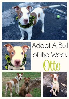 Adopt-A-Bull of The Week - Otto