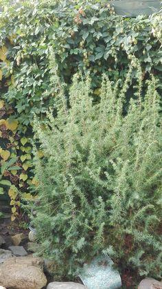 Jeneverbes, Juniperus Communis en hop, Humulus Lupulus; okt '16