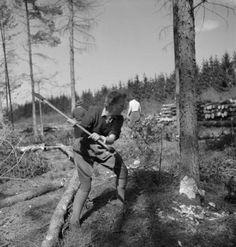 THEY LEARN BE LUMBERJILLS WOMEN'S LAND ARMY FORESTRY TRAINING CULFORD SUFFOLK 1943 © IWM (D 14098)