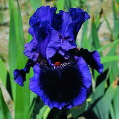 Deep blue iris (=)