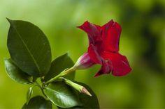 Trichterförmige Blüte der Mandevilla
