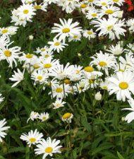 Leucanthemum x superbum 'Polaris' - isopäivänkakkara