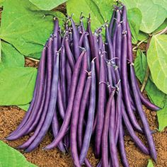 Dwarf Bean Amethyst   Tasty, stringless purple beans grow on compact plants perfect for the patio garden. A great choice  for planting in containers, this ornamental edible produces slender 6in 'filet' beans over a long  picking period.70 days.