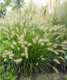 Pennisetum alopecuroides Hameln - Herbe aux écouvillons - Pépinière, plantes, jardinerie, vente en ligne