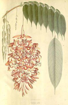 10681 Amherstia nobilis Wall. / Wallich, N., Plantae Asiaticae Rariores, vol. 1: t. 1 (1830) [Vishnupersaud]