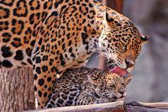 Jaguar love