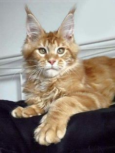 Beautiful Maine Coon. http://www.mainecoonguide.com/characteristics/