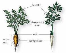 """Képtalálat a következőre: """"növény részei rajz"""" Nature Study, Homeschool, Herbs, World Discovery, Studying, Natural History, Herb, Homeschooling, Medicinal Plants"""