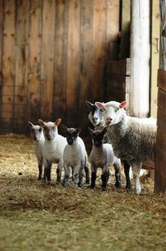 Baaaaaaaaaaaaaaah! Precious little lambs.
