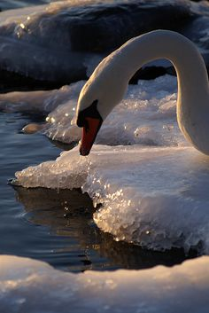 "tinnacriss: ""Neck (by Bull Rider) "" Beautiful Birds, Beautiful Pictures, Swan Pictures, Chow Chow, Cygnus Olor, Nature Sauvage, Mute Swan, Bull Riders, Swan Song"