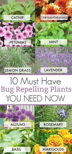 10 MUST HAVE BUG REPELLING PLANTS YOU NEED NOW IN YOUR BACKYARD TO KEEP THOSE BUGS AWAY #Garden