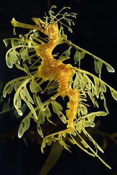LEAFY SEA DRAGON (Phycodurus eques)  -  ©MontereyBayAquarium.org    Much like the seahorse, the Australian leafy sea dragon's name is derived from its resemblance to another creature (in this case, the mythical dragon). While not large, they are slightly larger than most sea horses, growing to about 20–24 cm (8–10 in). They feed on plankton and small crustaceans.