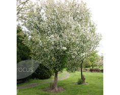 Malus 'Evereste'  crab apple.  Max height 7m.  Spread 7m.  Masses of cup-shaped, white flowers from red buds in late spring, followed by large, red-flushed, orange-yellow fruit, and dark green leaves. This pollution tolerant crab apple is an ideal ornamental tree for a small, urban garden. Conical in shape, it flowers and fruits best in full sun.