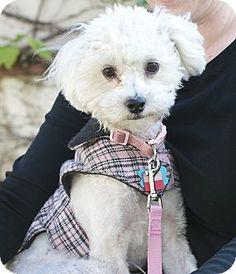 Hi I'm Ellie! You can adopt me in Pasadena, CA - Maltese/Poodle (Miniature) Mix. Meet ELLIE a Dog for Adoption. XO
