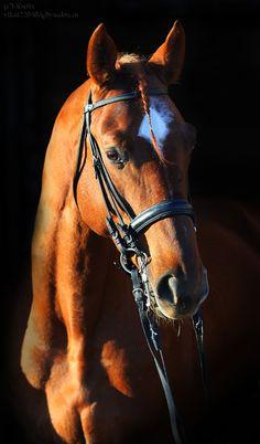 Trakehner stallion Efarant