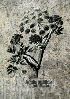 Archangelica officinalis #ghostdogg #streetart #Medizinalpflanze