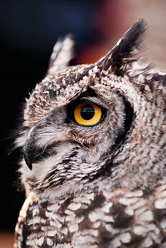 Great Horned Owl by Andy Drake, via Flickr