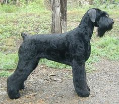 black russian terrier designed by Russian scientists from many breeds including Giant Schnauzer and many others Big Dogs, I Love Dogs, Dogs And Puppies, Doggies, Russian Dog Breeds, Black Dog Syndrome, Schnauzer Gigante, Giant Schnauzer, Black Schnauzer