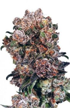 The Dutch Passion Blueberry is a true classic with genetics dating back to the 1970s and there are many reasons why this strain has remained a Dutch Passion favourite. It's make up is 20% Sativa and 80% Indica.  The mother plants are very easy to take cuttings from whilst maintaining its fantastic quality. http://www.cannabis-seeds-store.co.uk/feminised-seeds/dutch-passion/blueberry-feminised-seeds/prod_189.html