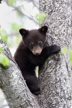 Black Bear Cub In Between Two Limbs Of Photograph by Rpbirdman Baby Bear Cub, Bear Cubs, Grizzly Bears, Tiger Cubs, Panda Bears, Tiger Tiger, Bear Pictures, Animal Pictures, Cute Baby Animals