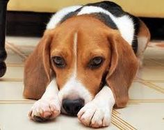 One of my many favorites, the Beagle!