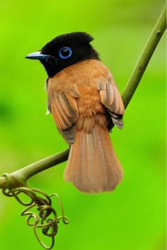 "Asian Paradise Flycatcher ~ Terpsiphone paradisi  (Linnaeus, 1758) -- ""Young males look very much like females but have a black throat and blue-ringed eyes."" #birds #blueringedeyes #greenness"