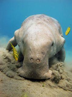 Dugong - New Guinea
