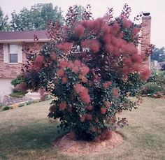 Cotinus coggyria- Smoketree or smokebush