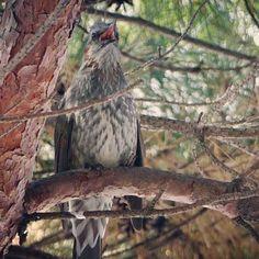 【minjae8509】さんのInstagramをピンしています。 《울고있다. 泣いているの? 。 #직박구리 #새 #조류 #ひよどり#鵯 #鳥 #bird #animal #動物 #동물 #sel90m28g #sony #a6500 #소니 #ソニー #BrownearedBulbul #nature #자연 #自然 #山 #森 #山登り#사진 #포토》