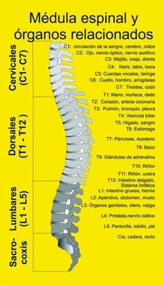 Learn medical Spanish through this if you know the English hehehe! Medula y Organos VitaLys Centro de Terapias Alternativas y Energéticas Cervical Spine Exercises, Health And Beauty, Health And Wellness, Medicine Notes, Acupressure Treatment, Spine Health, Traditional Chinese Medicine, Anatomy And Physiology, Massage Therapy