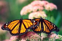 Monarch Male and Female on Stonecrop c1999 / September / Worth Township, Slippery Rock, Pennsylvania / PHOTO BY Melanie Petridis / Monarch Butterflies