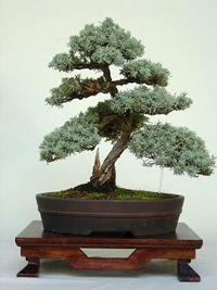 italian_cypress_bonsai