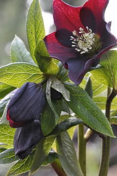 Hellebore~ I love these guys ~ mine are all blooming already and it's only the 10th of February <3
