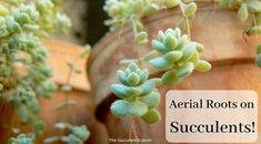 Learn to grow succulents! Proper succulent care is simple once you understand what succulents need & why. Simple steps to succulent success! Succulent Gifts, Succulent Care, Succulent Gardening, Container Gardening, Hanging Succulents, Succulents Diy, How To Grow Bananas, Succulent Species, Root Structure