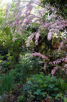 29-04 | Ooit zag ik een prachtige Tamarisk (Tamarix) in de tuinen van Villa Hanbury (Ventimiglia, Ligurische kust, Italië). Bij thuiskomst besloot ik ook zo'n boom te planten in mijn eigen tuin. Maar het begeleiden van een jonge, weerbarstige struik naar een stevige boom valt nog niet mee. Na jaren een zieltogend bestaan in de voortuin (waar hij alleen maar kleiner werd) heeft hij in de achtertuin zijn plek gevonden en kan ik nu eindelijk genieten van zijn weelderige roze takken in…