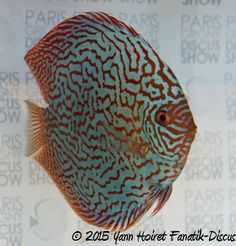Reportage: Le Paris Grigny discus show 2015 Tropical Freshwater Fish, Freshwater Aquarium Fish, Discus Fish, Fish Farming, Beautiful Fish, Cichlids, Aquariums, Laos, Painted Rocks